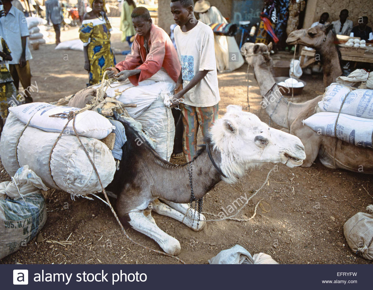 Republic Of Niger NER Western Africa Sahara Desert 2000 People Person Farming Agriculture Working Camel Camels - Stock Image