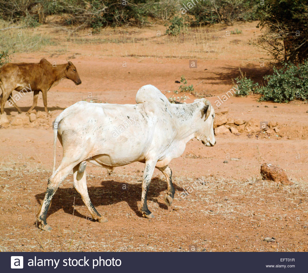 Niger Republic Of Niger NER Western Africa Sahara Desert 2007 Nobody Farming Agriculture Cows Cattle - Stock Image