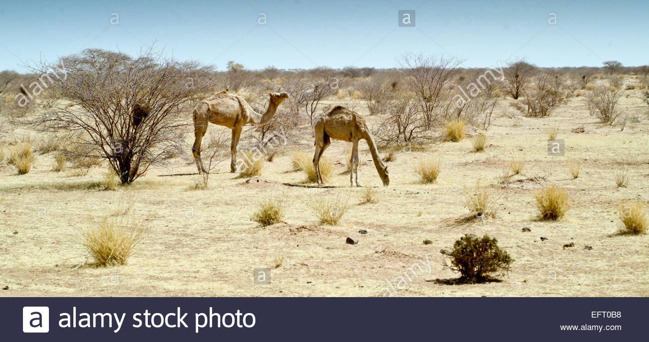 Republic Of Niger NER Western Africa Sahara Desert 2007 Nobody Farming Agriculture Camel Camels Landscape - Stock Image
