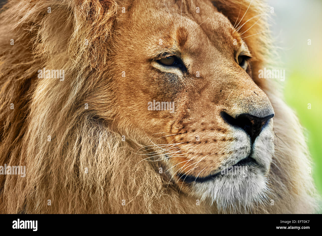 Lion portrait on savanna, safari. Big adult lion with rich mane. - Stock Image