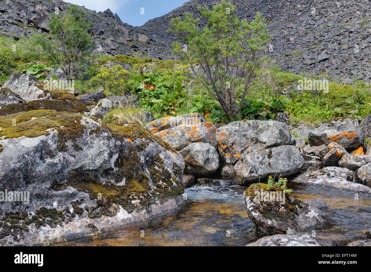 Rhodiola rosea (arctic root) growing on a rock in a mountain stream. Eastern Siberia Stock Photo