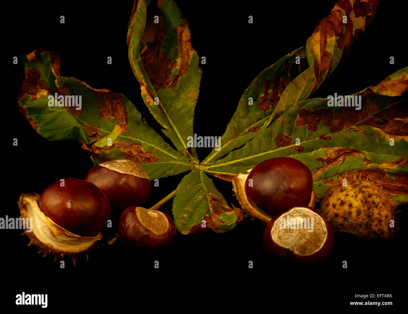 Horse chestnut leaves and conkers - Stock Image