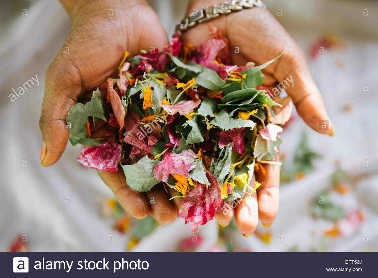 Woman holding dried flower heads - Stock Image