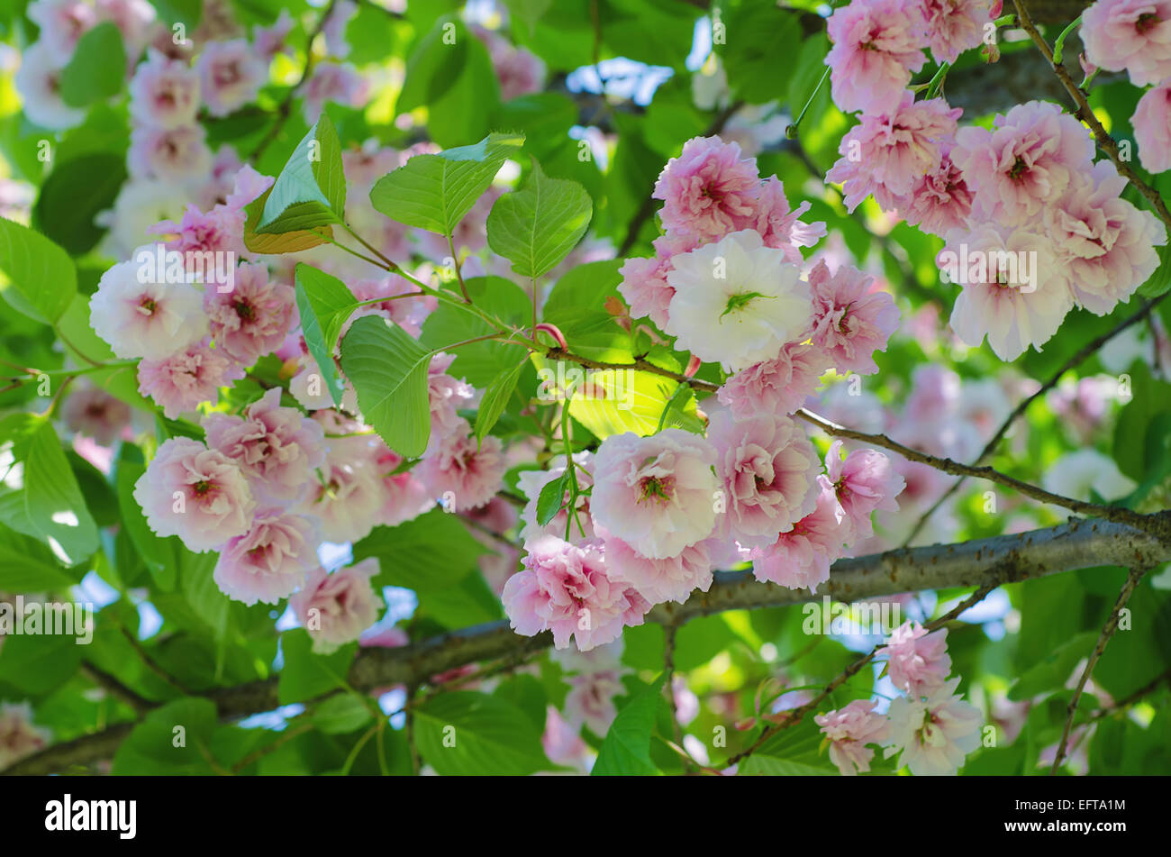 Blossoming Of Sakura Tree Flowers Natural Floral Spring Seasonal