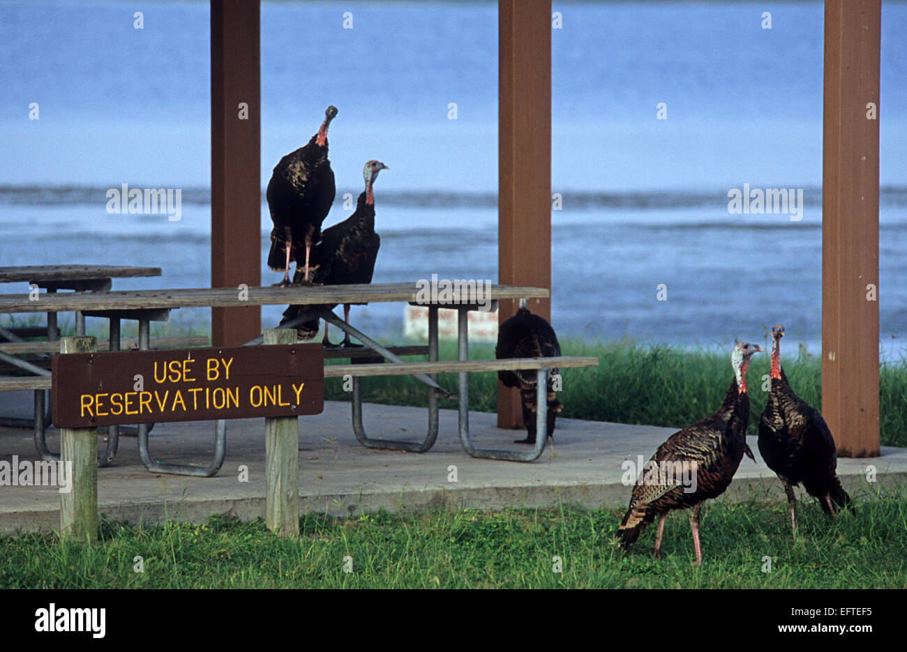 Turkeys resting in a campground - Stock Image