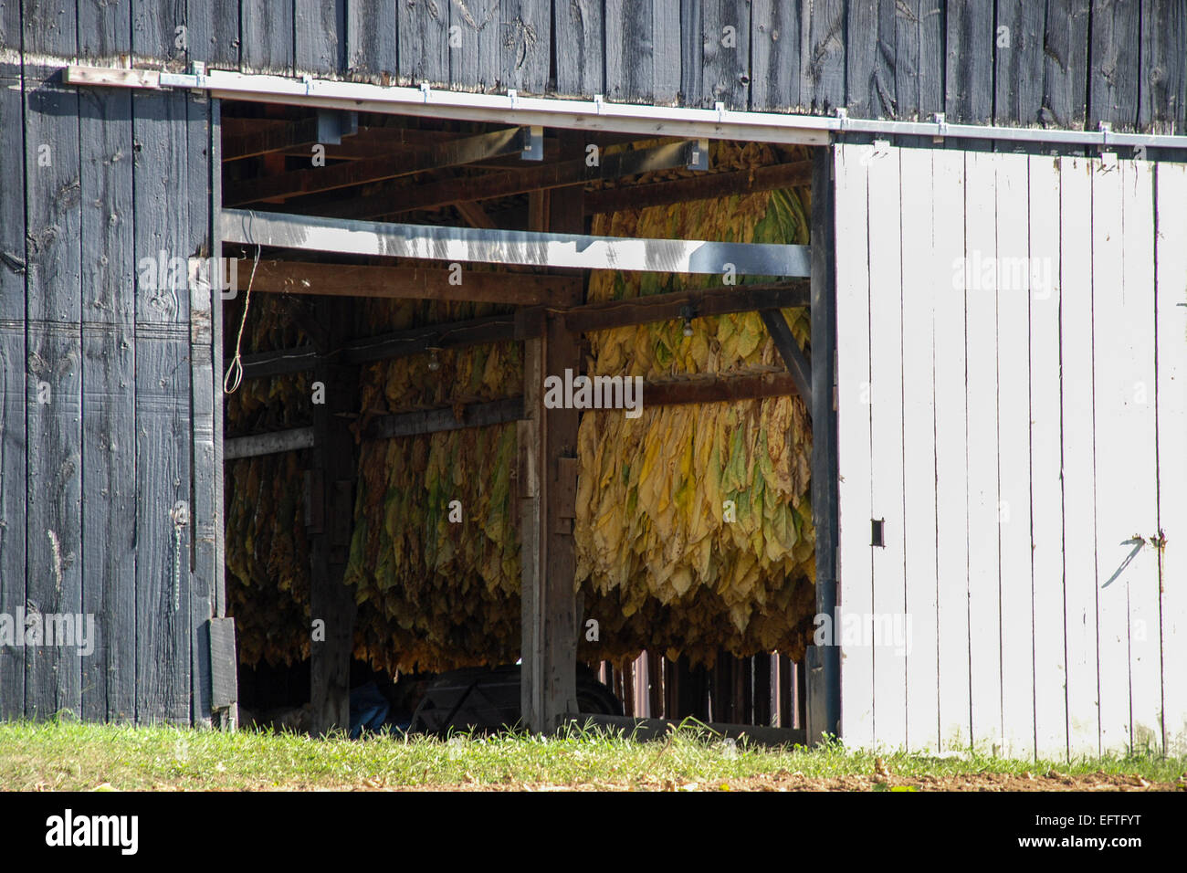 Old tobacco barn in Northern Kentucky.  There are tobacco leaves inside the barn drying. - Stock Image