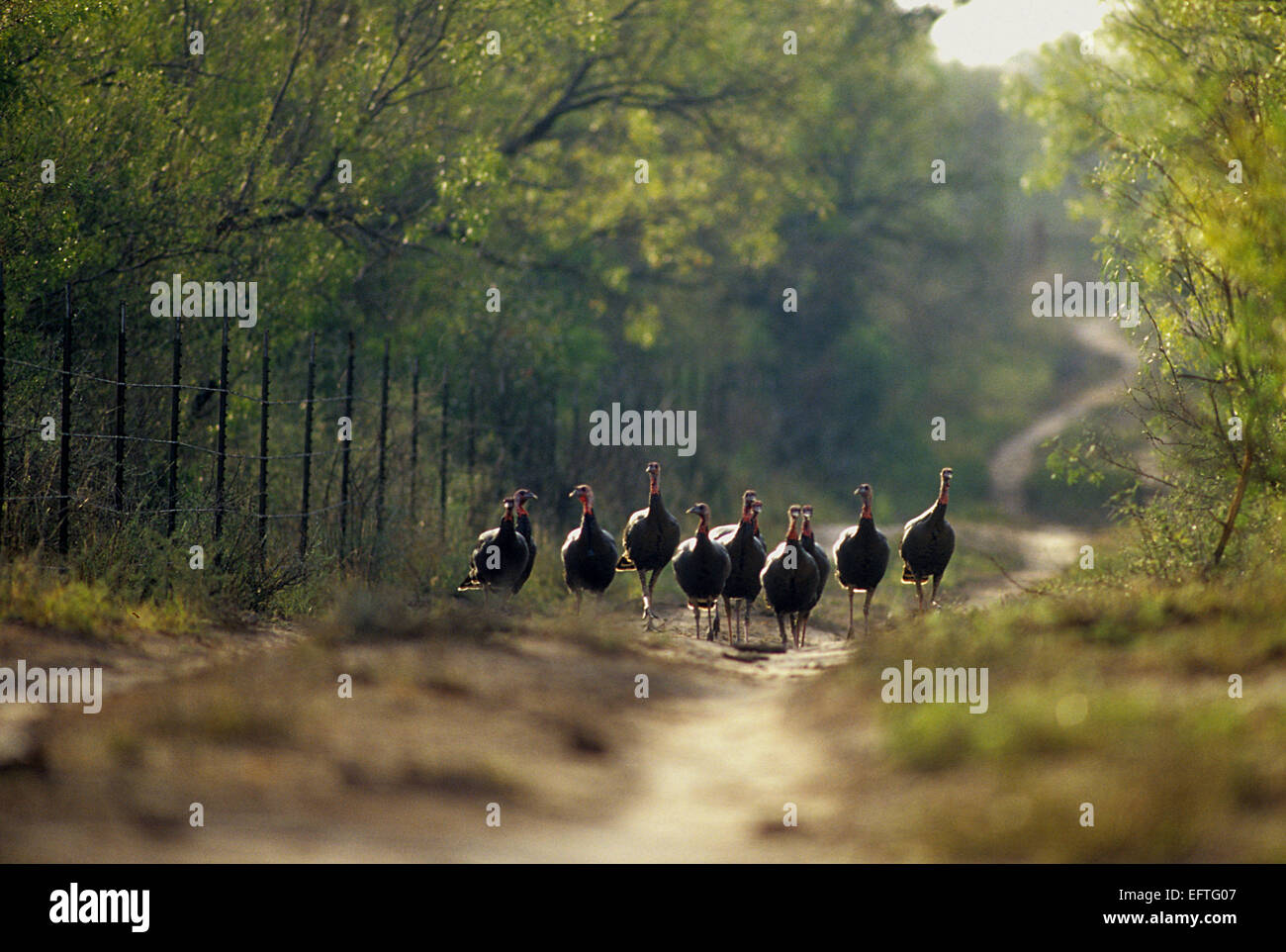 A flock of turkeys on a Texas ranch road - Stock Image