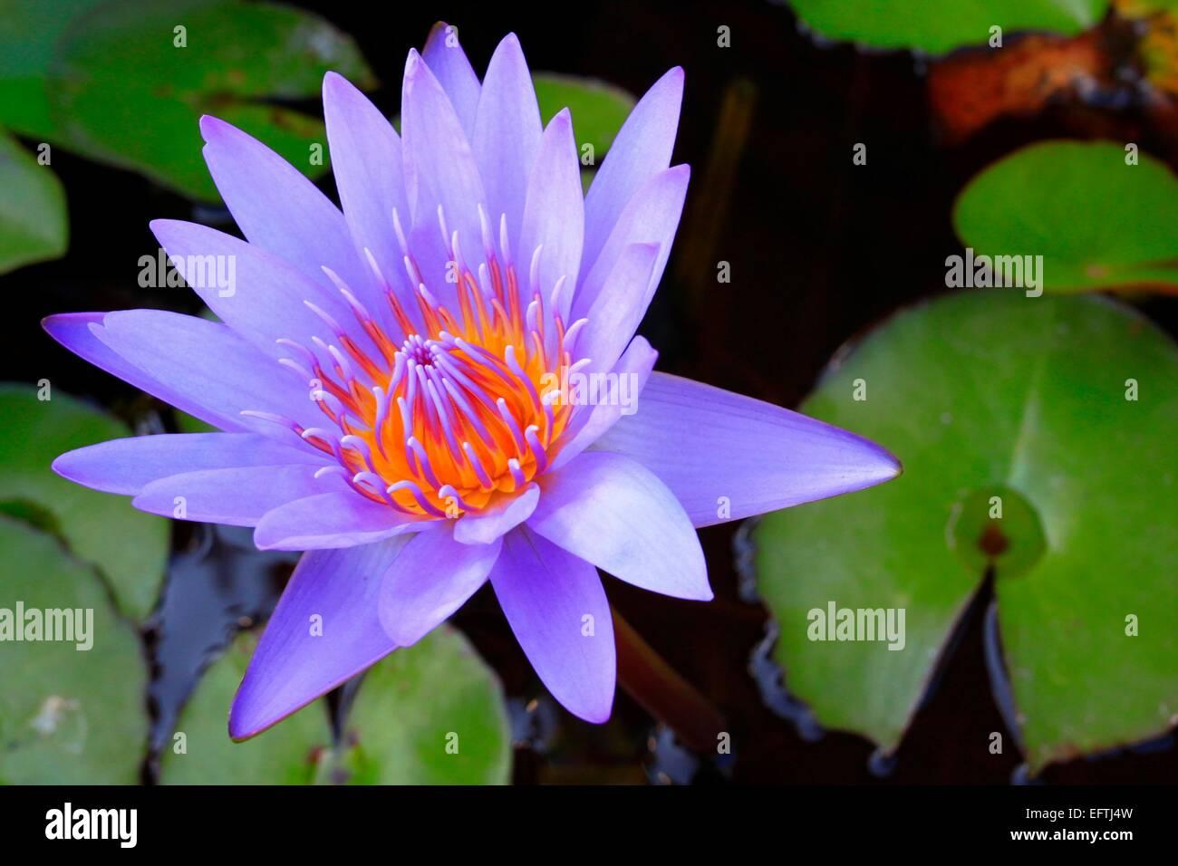 Lotus Flower For Buddha Stock Photo 78602409 Alamy