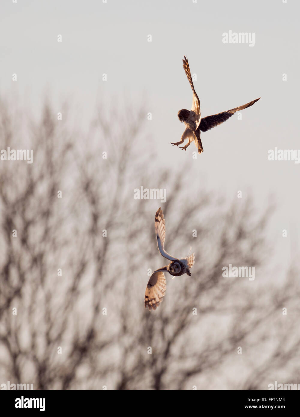 Two feuding Wild Short Eared Owls Asio Flammeus in an aerial territorial battle over Gloucestershire - Stock Image