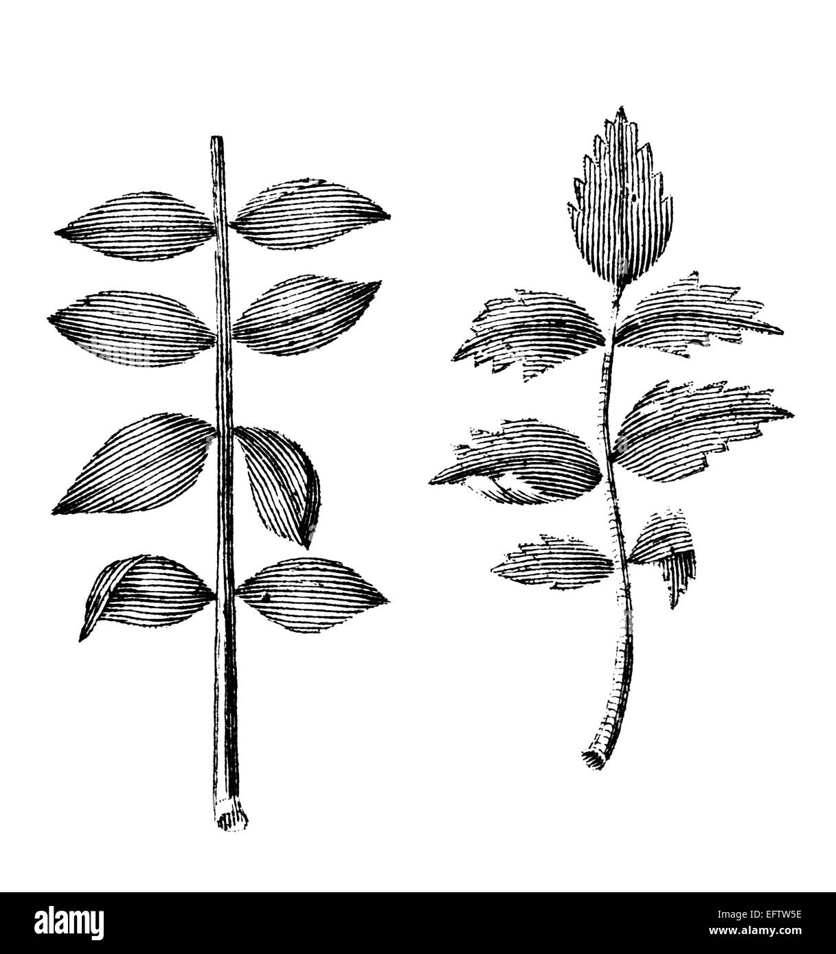 Victorian engraving of differnt plant stems and leaves. Digitally restored image from a mid-19th century Encyclopaedia. - Stock Image