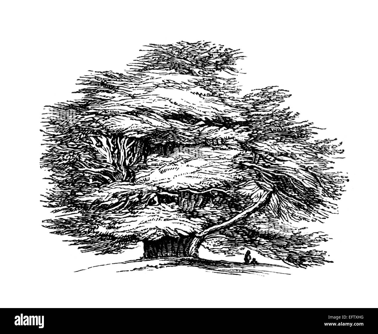 Victorian engraving of the Ankerwyke Yew.  Digitally restored image from a mid-19th century Encyclopaedia. - Stock Image