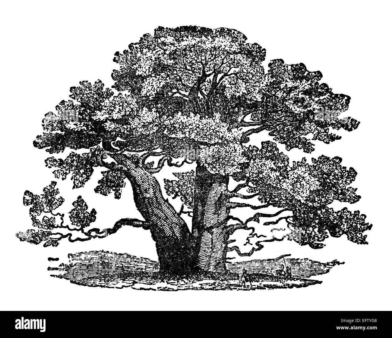 Baobab Tree Black and White Stock Photos & Images - Alamy
