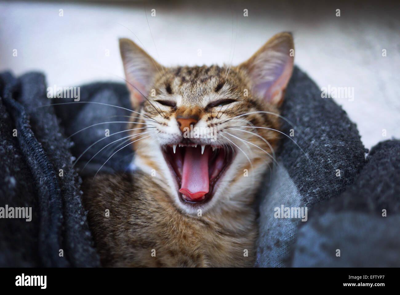 Kitten yawning. - Stock Image