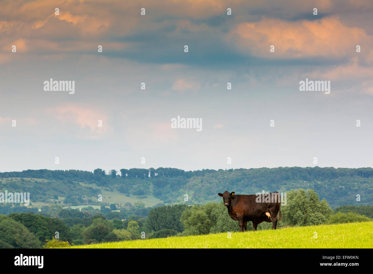 Portrait of wow and calf in rural field below the Chilterns, Oxfordshire, UK - Stock Image