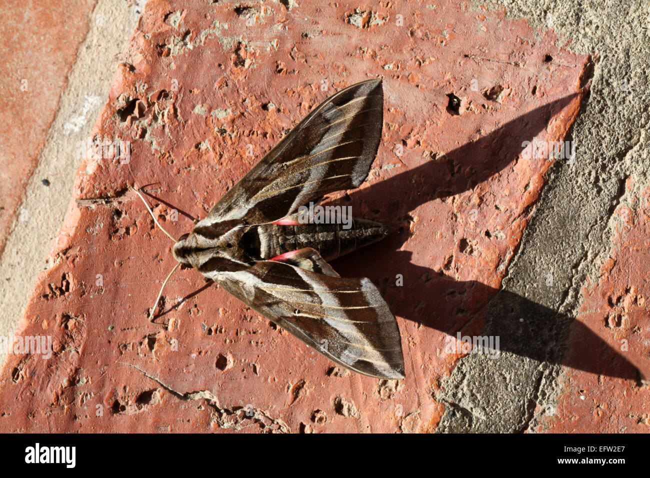 A large brown Hawk Moth resting on a brick floor background - Stock Image