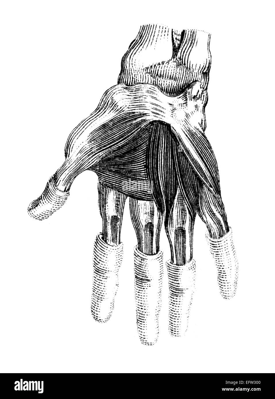 Vintage Engraving Anatomy Human Hand Stock Photos Vintage