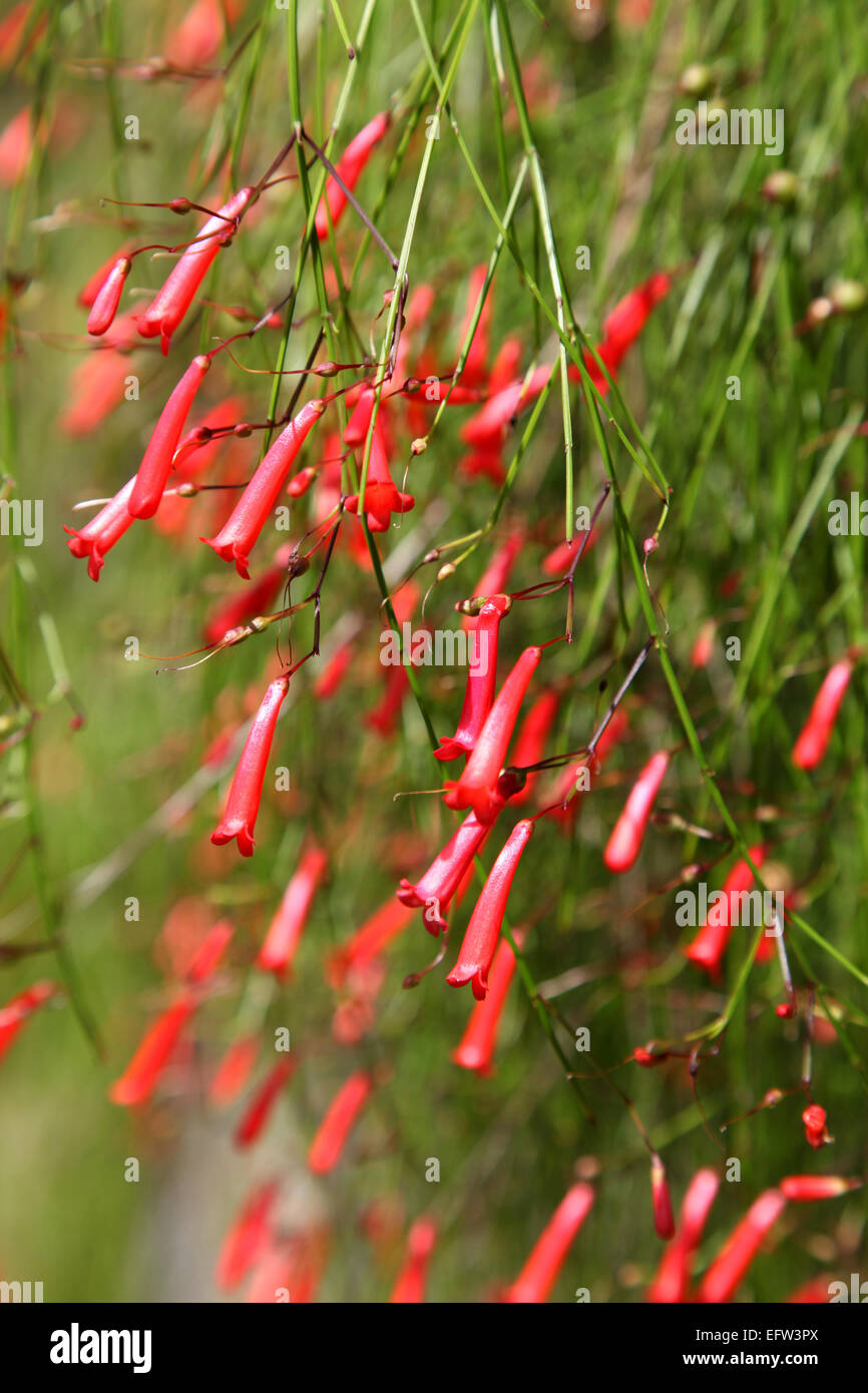An Red Trumpet Shaped Exotic Tropical Flower Close Up