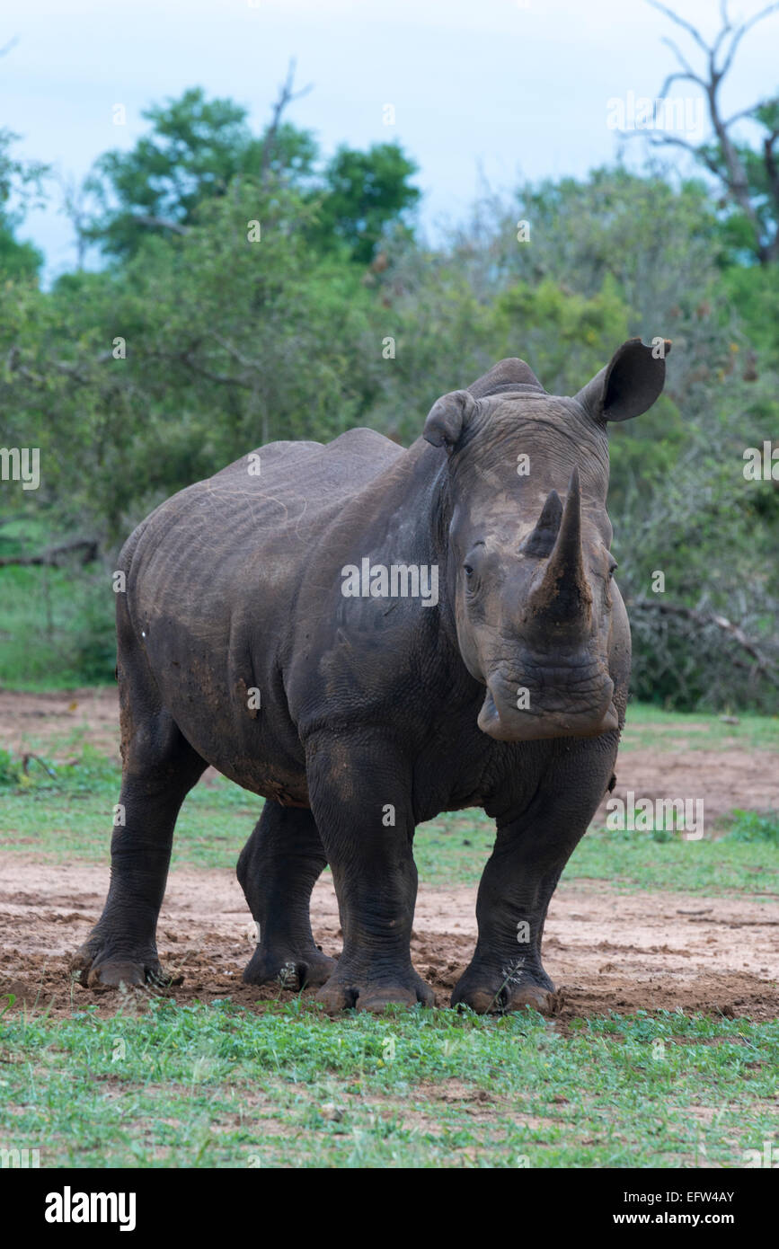 A White rhinoceros (Ceratotherium simum) with a floppy ear looking at camera, Hlane Royal National Park, Swaziland Stock Photo
