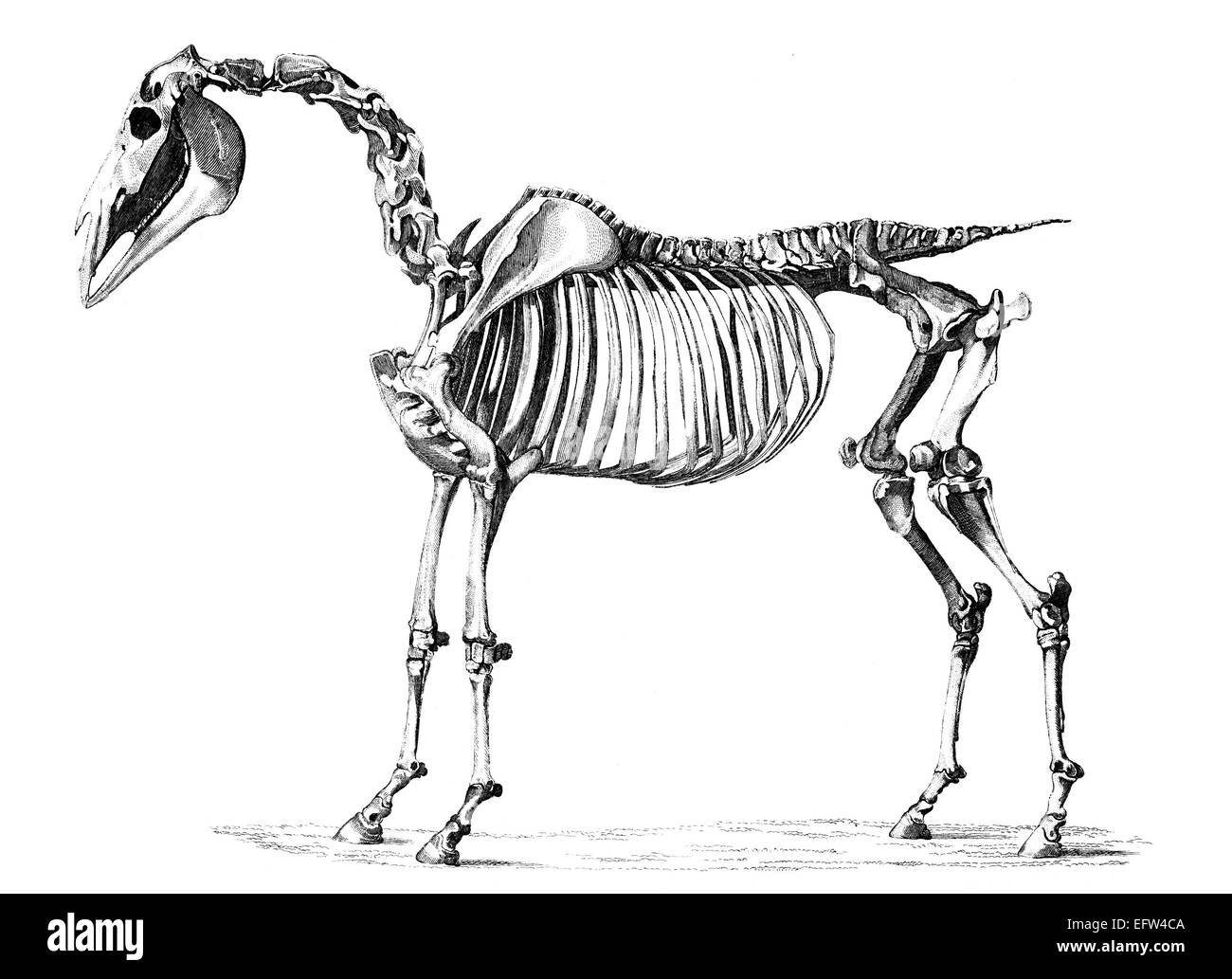 Horse Anatomy Cut Out Stock Images & Pictures - Alamy