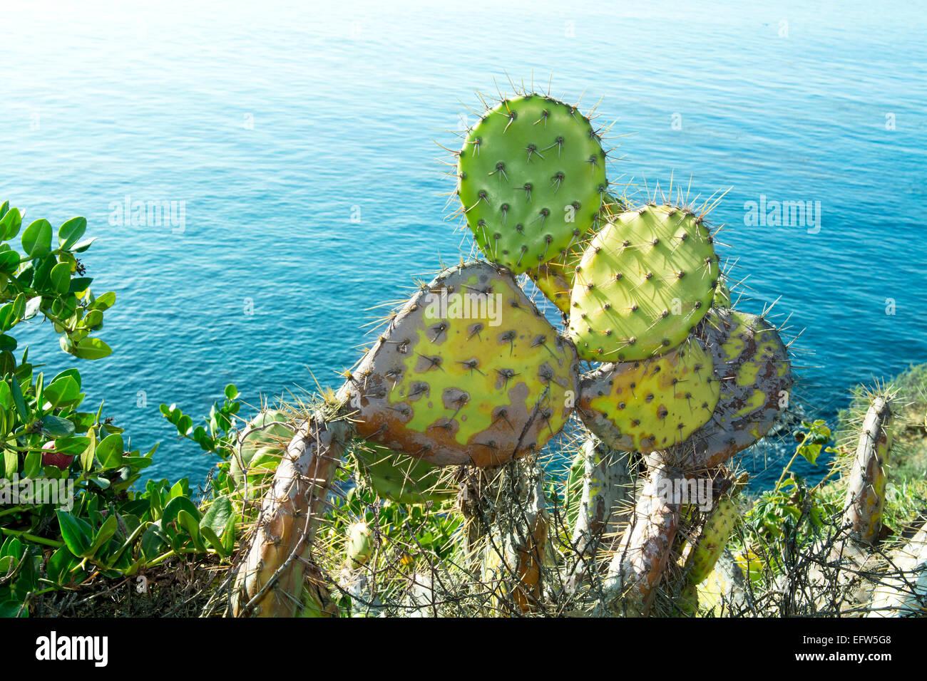 Colorful prickly pear cactus with sharp needles grows along the coastline of Laguna Beach, California. Stock Photo