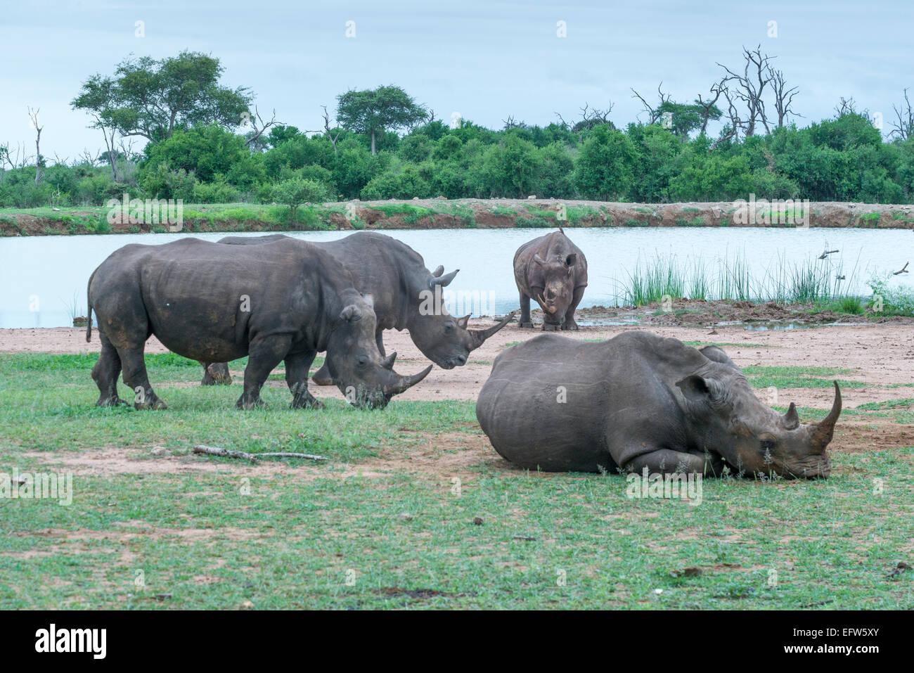 Four White rhinoceros (Ceratotherium simum) one lying on the ground dozing in Hlane Royal National Park, Swaziland - Stock Image