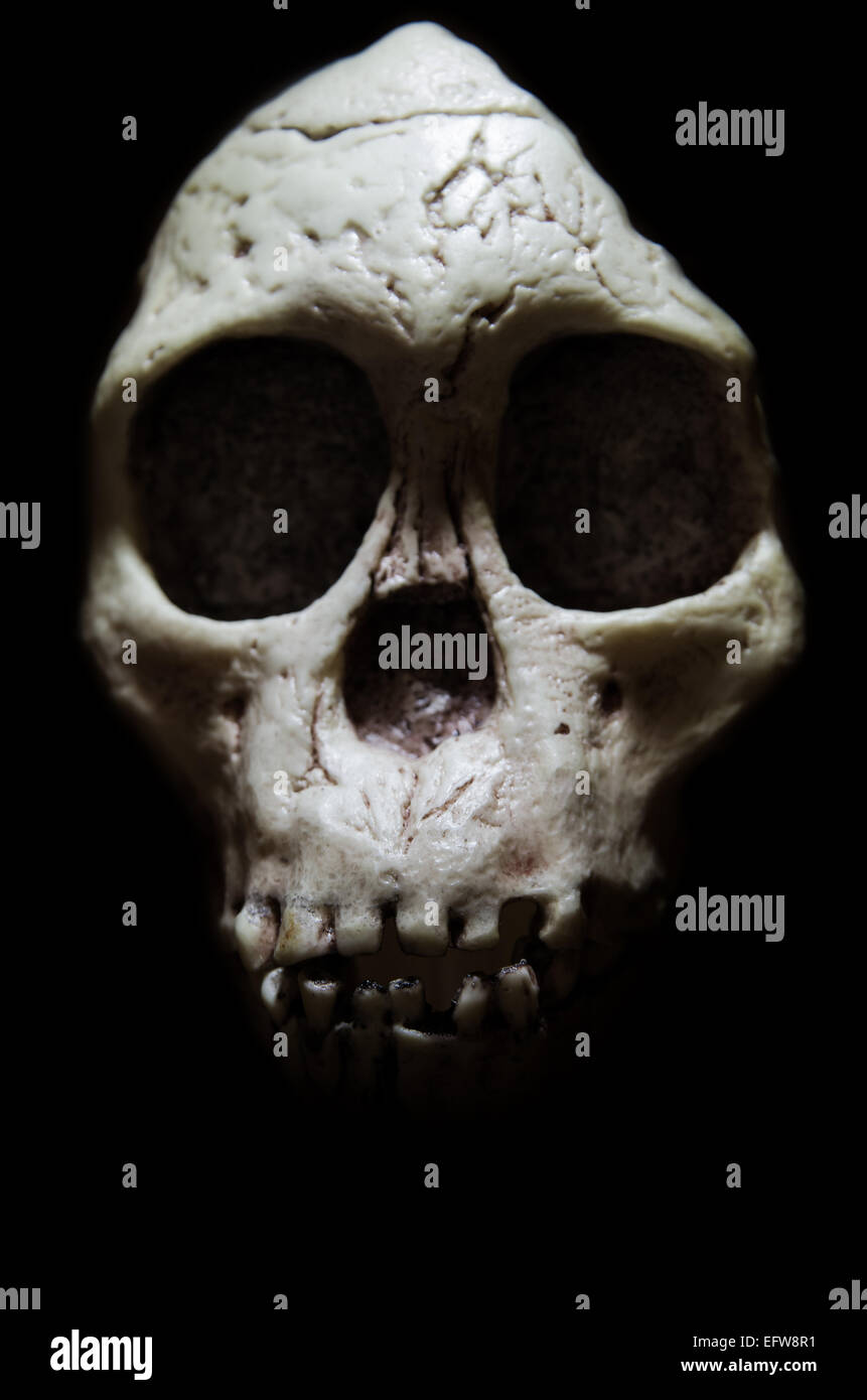 An image on a museum copy of the Taung Child skull - Stock Image