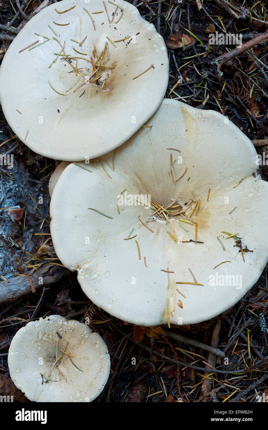 Short stemmed Russula (Russula brevipes) growing out of the ground in Washington's North Cascades. fall. - Stock Image