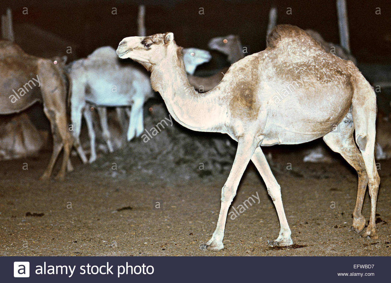 Camels Waiting To Be Killed Camel Meat Slaughter At Dawn Slaughterhouse Islamic Republic Of Mauritania North Africa - Stock Image