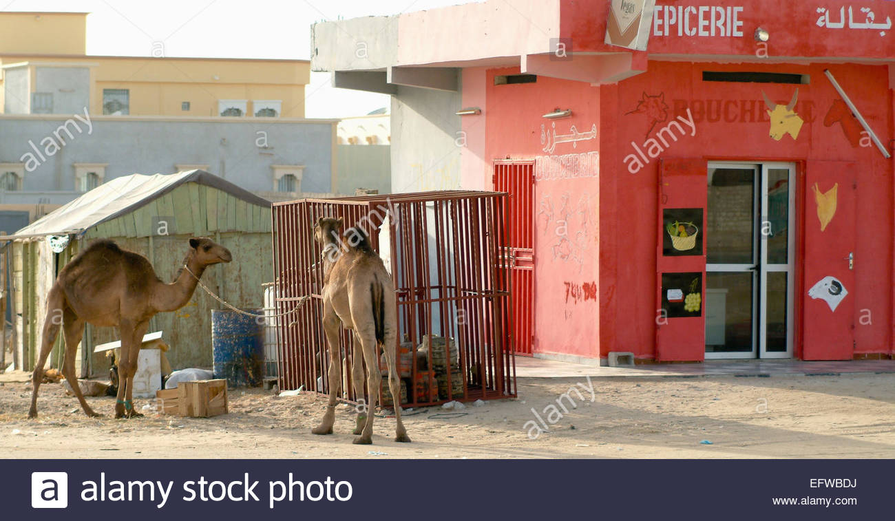 Camels tied up waiting to be slaughtered for meat Butcher Shop Slaughterhouse Islamic Republic Of Mauritania North - Stock Image