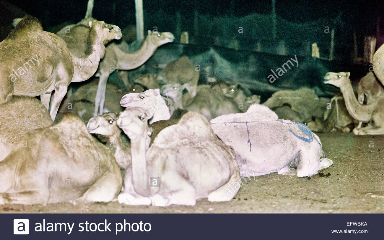 Camels Waiting To Be Killed Camel Meat Slaughter At Dawn Slaughterhouse Food And Drink Islamic Republic Of Mauritania - Stock Image