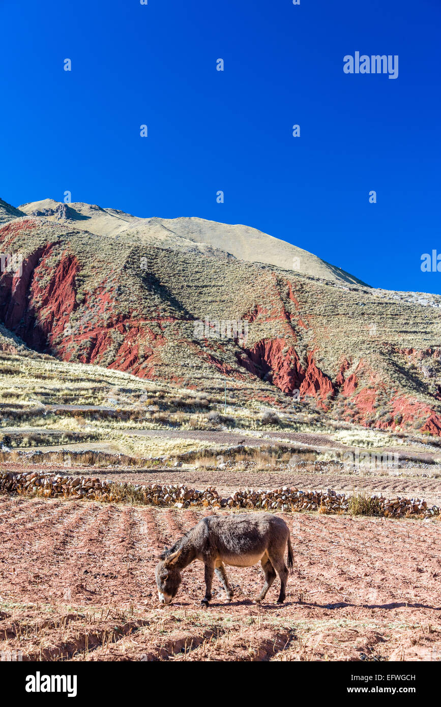 A donkey in a field with green and red hills in the background near Potosi, Bolivia - Stock Image