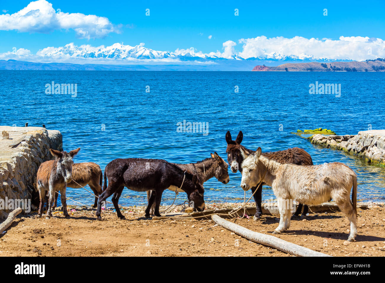 Six donkeys standing on the shore of Lake Titicaca with the Andes mountains in the background as seen on Isla del - Stock Image