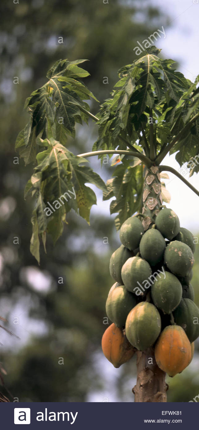 Wild Mangoes Growing Mango Tree United Republic Of Tanzania Tza