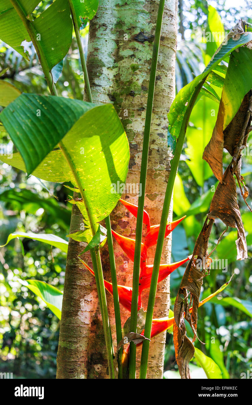 Red heliconia flower in the Amazon rainforest in Madidi National Park near Rurrenabaque, Bolivia - Stock Image