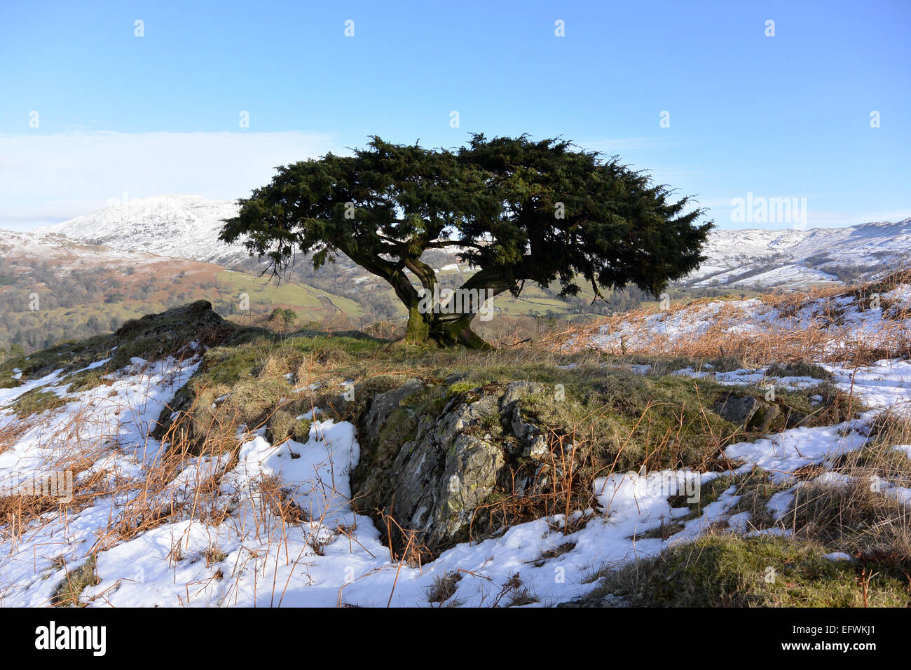 Wild juniper tree in winter Stock Photo