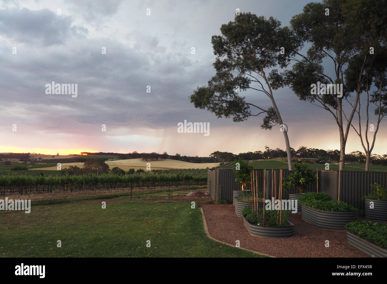 Sunset and distant rain on a vineyard in Clare Valley, South Australia. Stock Photo
