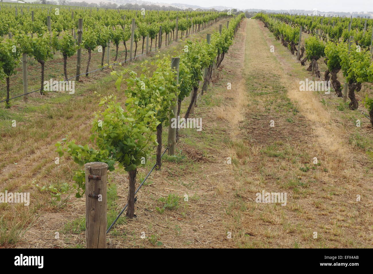 Rows of grapevines in a vineyard. - Stock Image