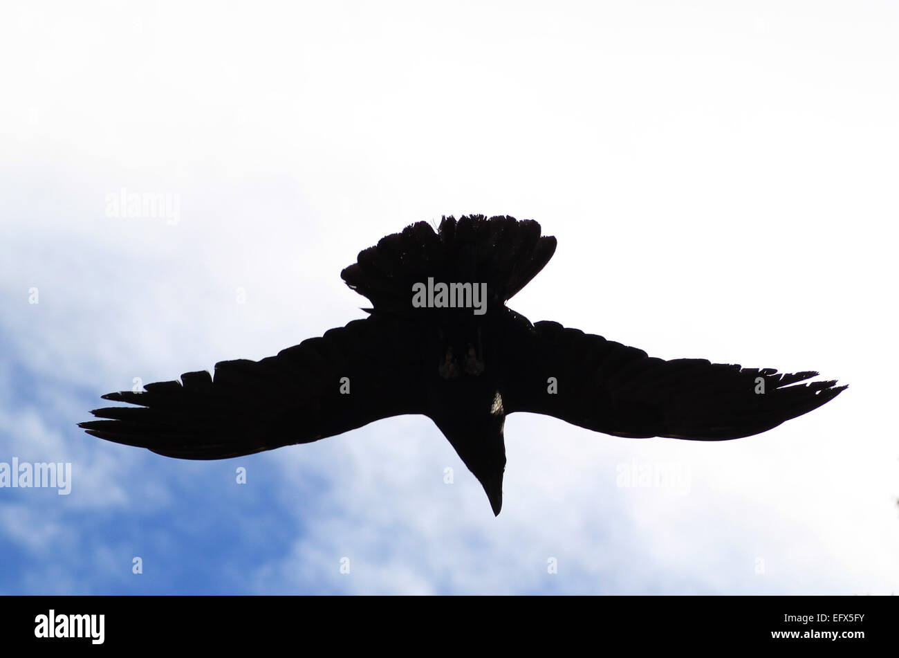 A silhouette of a black raven on blue sky with white clouds. - Stock Image