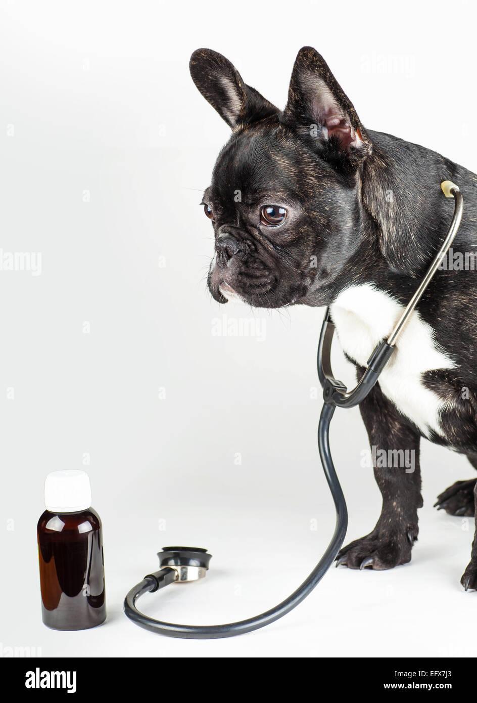 dog breed french bulldog with stethoscope around his neck - Stock Image