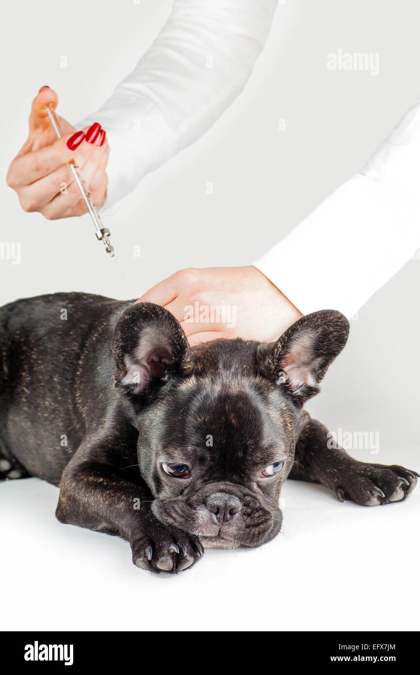Vet to vaccinate dog breed French Bulldog - Stock Image