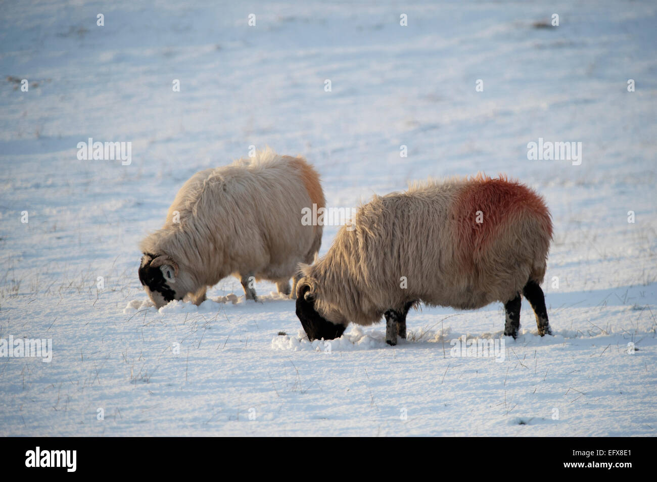Kendal Rough Fell sheep grazing in the snow. Cumbria, UK. - Stock Image