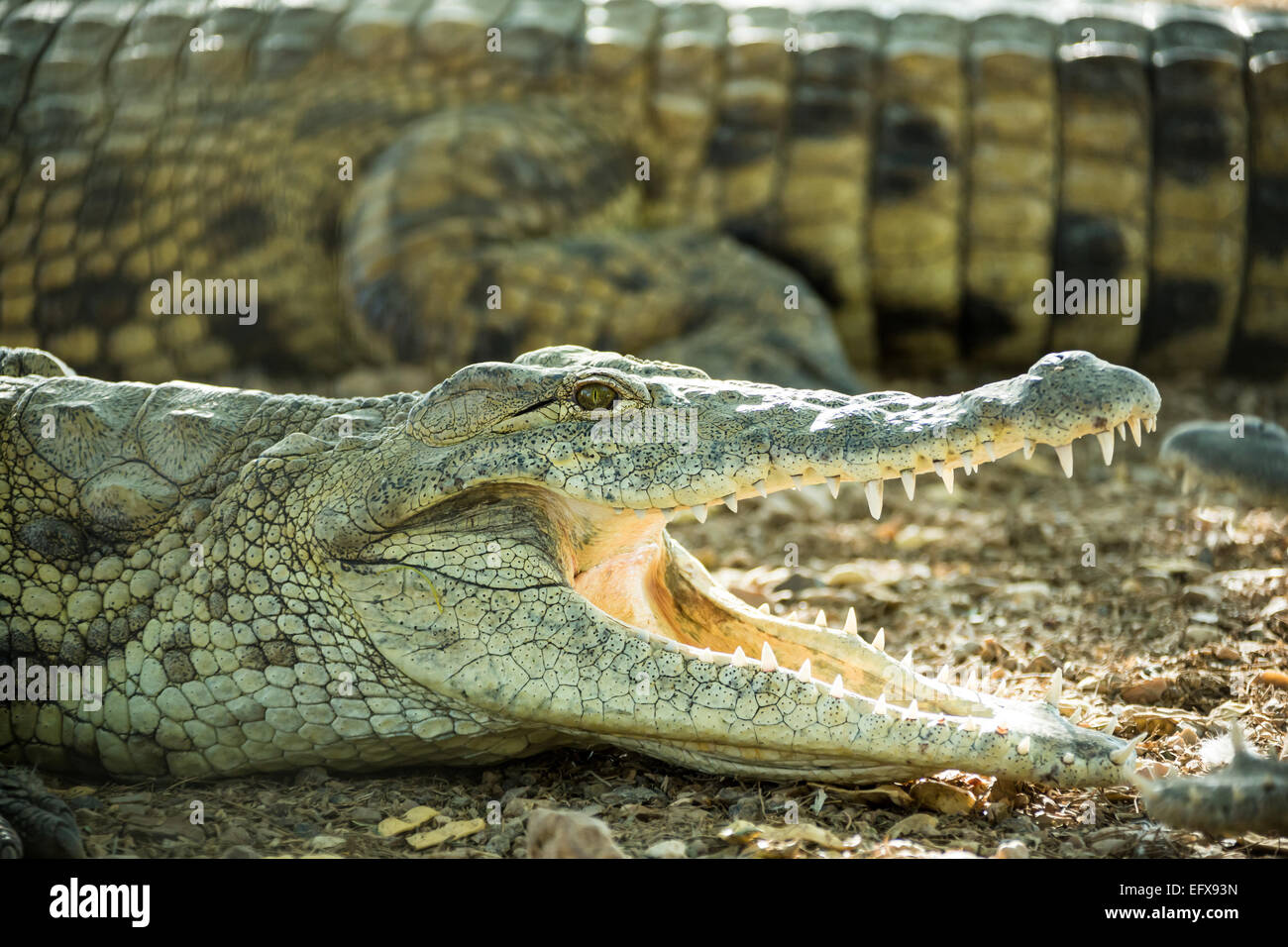 young crocodile lying on the rocky shore with open mouth Stock Photo