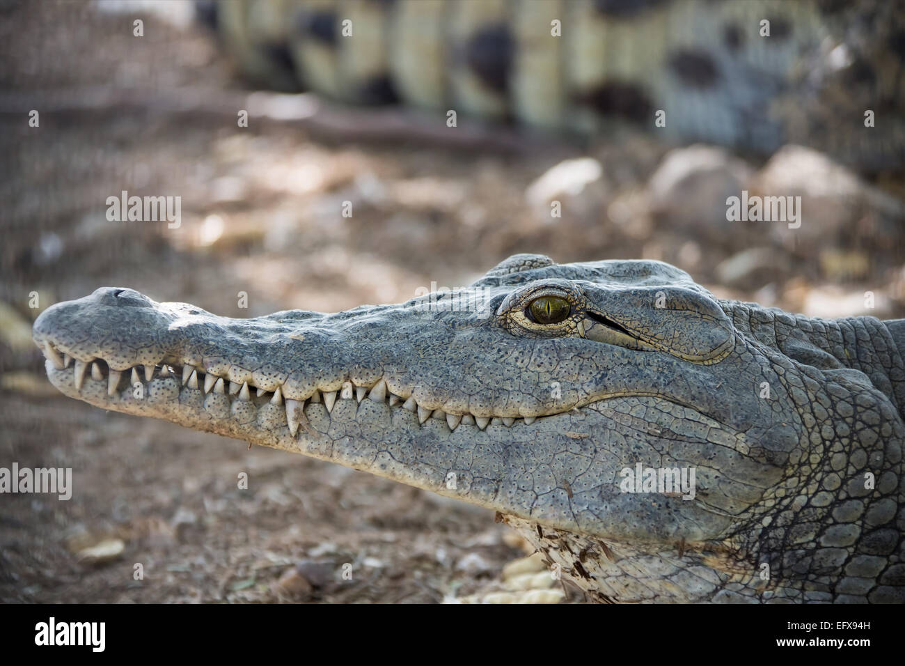 head of a young American crocodile close up Stock Photo
