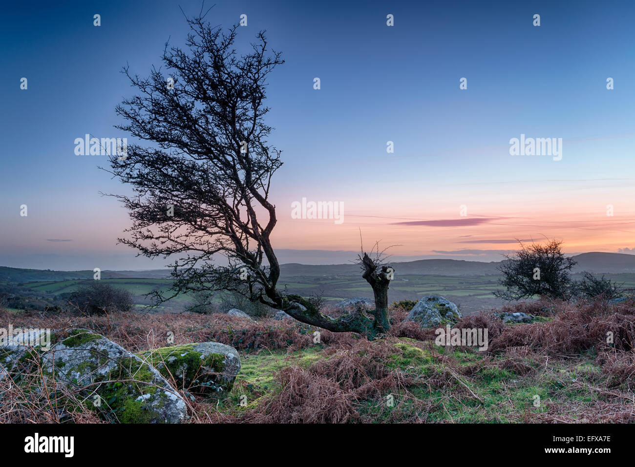 A gnarled old hawthorn tree at sunset on rugged moorland at Hleman Tor near Bodmin in Cornwall - Stock Image