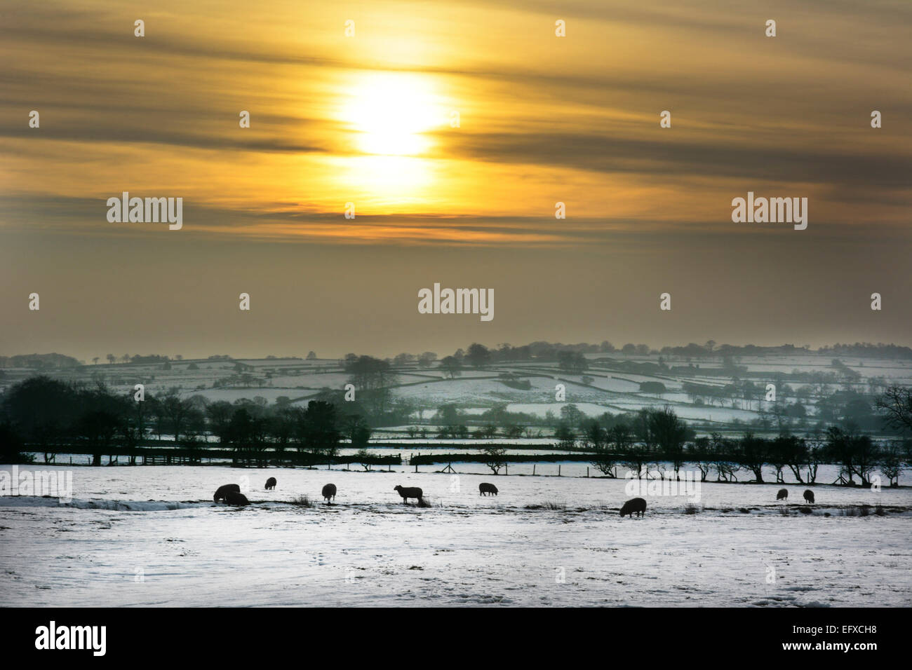 Sheep in a snow covered field against the setting sun at Bottomhouse, Leek, Staffordshire, UK. - Stock Image