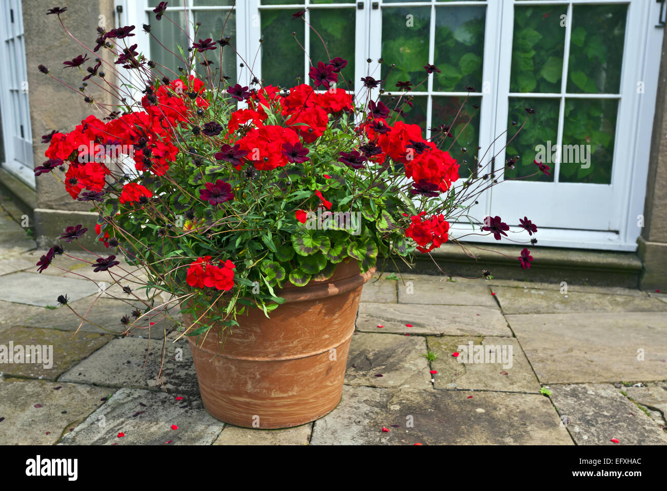 Large terracotta planter with red geraniums and chocolate cosmos flowers. - Stock Image
