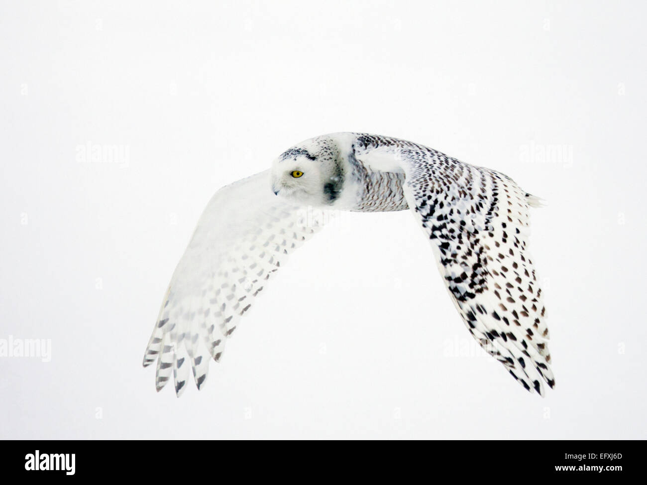 Snowy Owl Flying in Snow Fall - Stock Image
