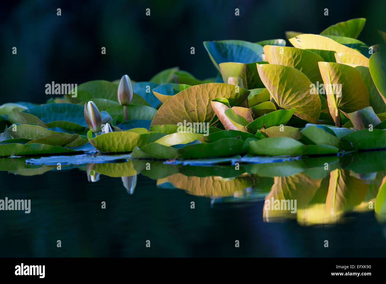 Water Lilies Buds Opening Cornwall; UK - Stock Image