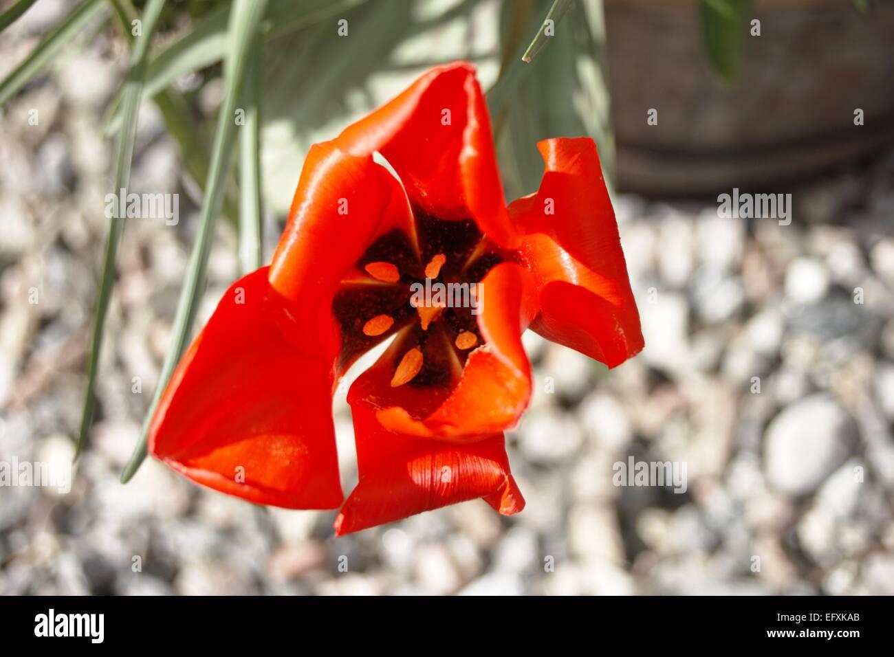 Warped Red Tulip - Stock Image
