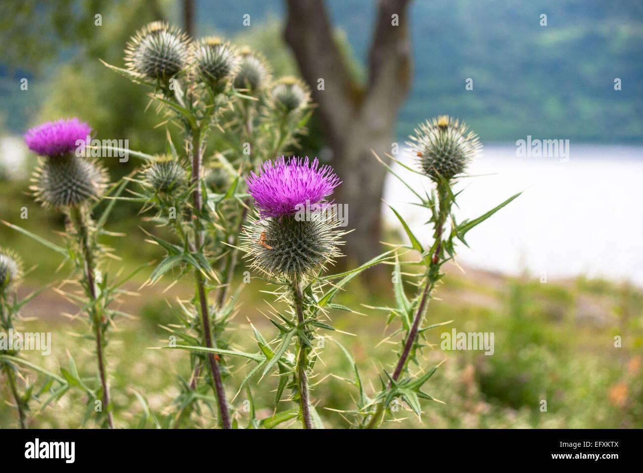 Scottish Thistles - Stock Image